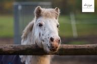 Shetty Pony