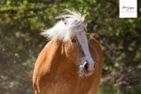 Haflinger Conny